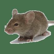 Rodent Control Everett